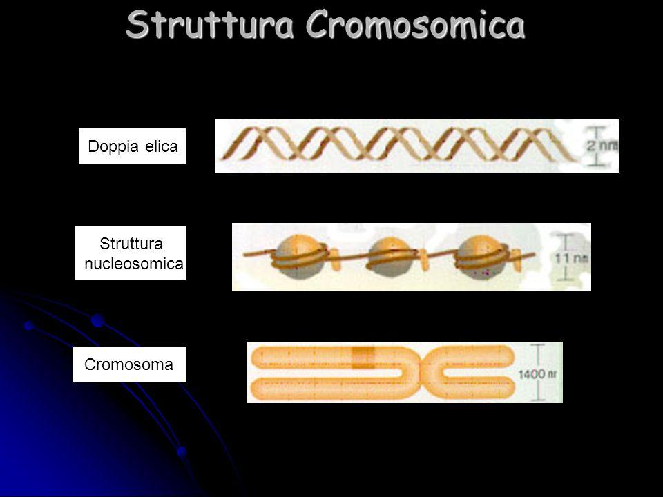 Struttura Cromosomica