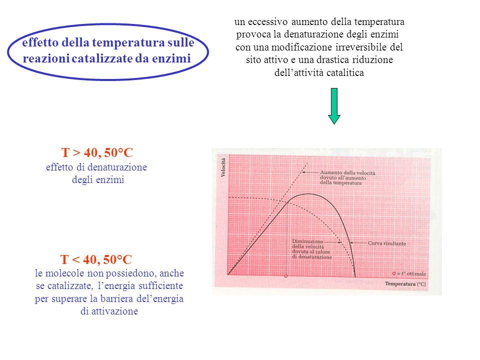 effetto della temperatura sulle reazioni catalizzate da enzimi