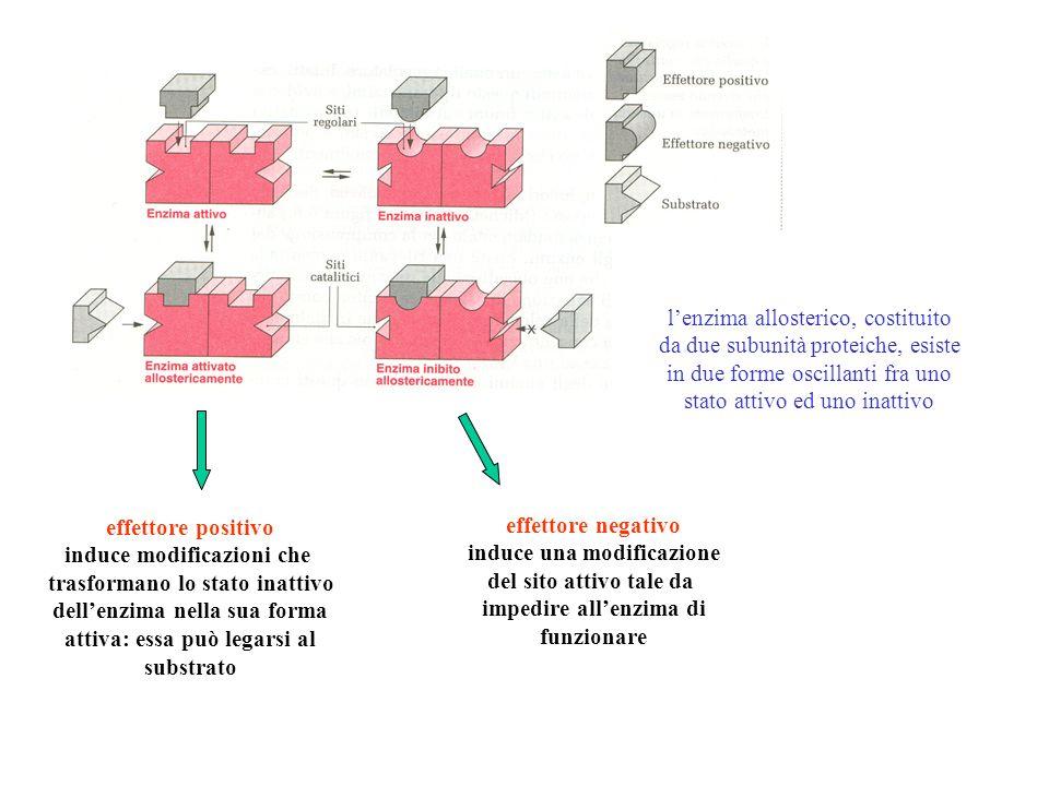 l'enzima allosterico, costituito da due subunità proteiche, esiste