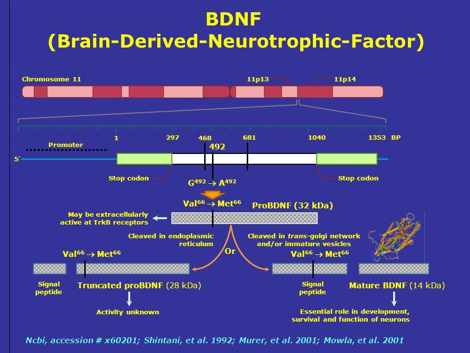 BDNF (Brain-Derived-Neurotrophic-Factor)