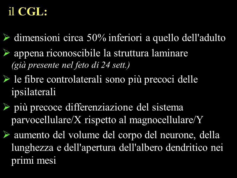 il CGL: dimensioni circa 50% inferiori a quello dell adulto