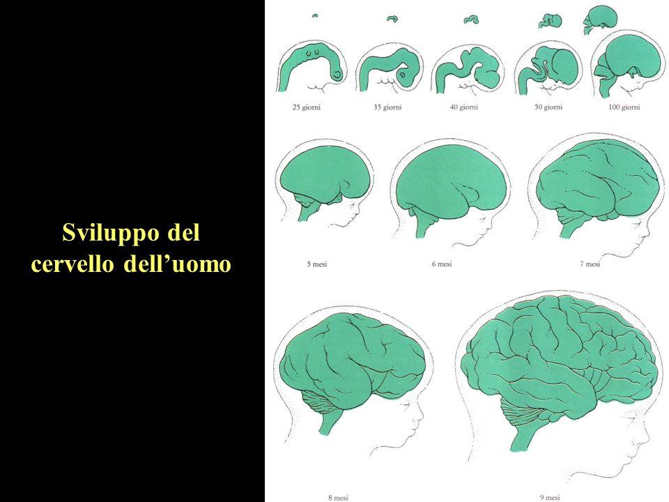 Sviluppo del cervello dell'uomo