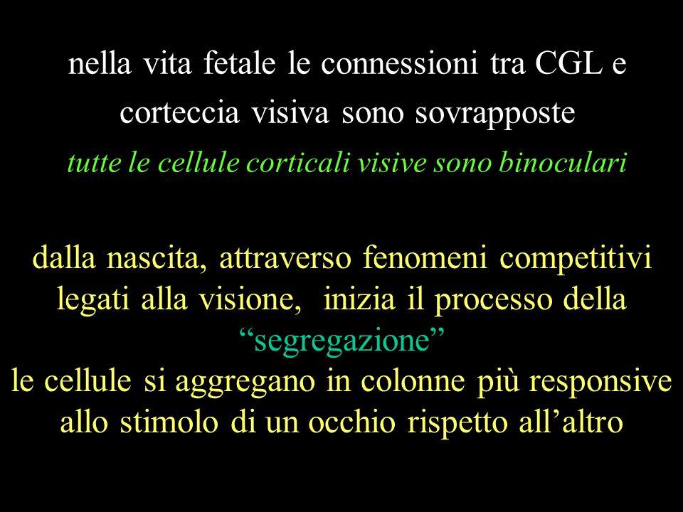 nella vita fetale le connessioni tra CGL e corteccia visiva sono sovrapposte tutte le cellule corticali visive sono binoculari