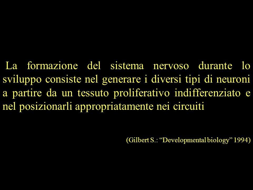La formazione del sistema nervoso durante lo sviluppo consiste nel generare i diversi tipi di neuroni a partire da un tessuto proliferativo indifferenziato e nel posizionarli appropriatamente nei circuiti