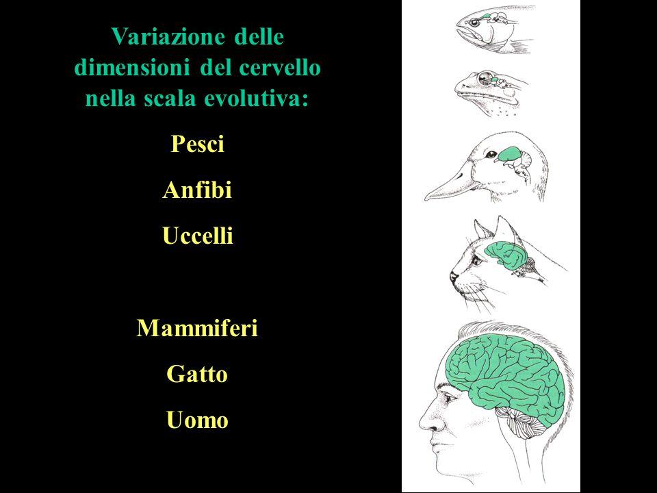 Variazione delle dimensioni del cervello nella scala evolutiva: