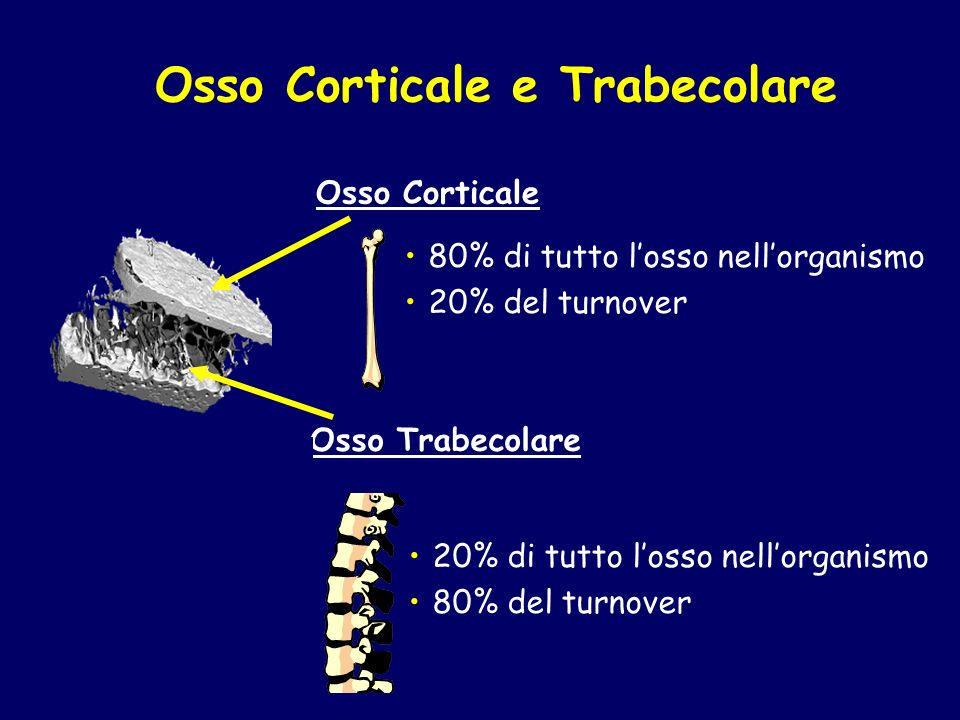 Osso Corticale e Trabecolare