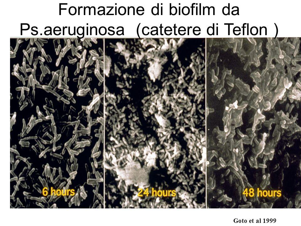 Formazione di biofilm da Ps.aeruginosa (catetere di Teflon )