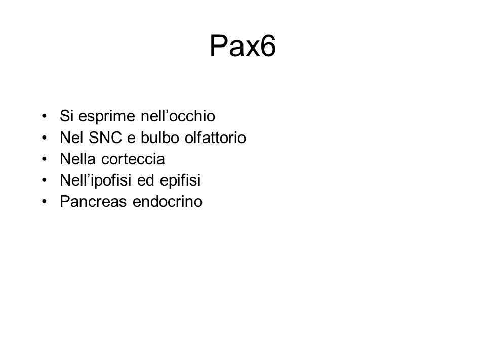 Pax6 Si esprime nell'occhio Nel SNC e bulbo olfattorio Nella corteccia