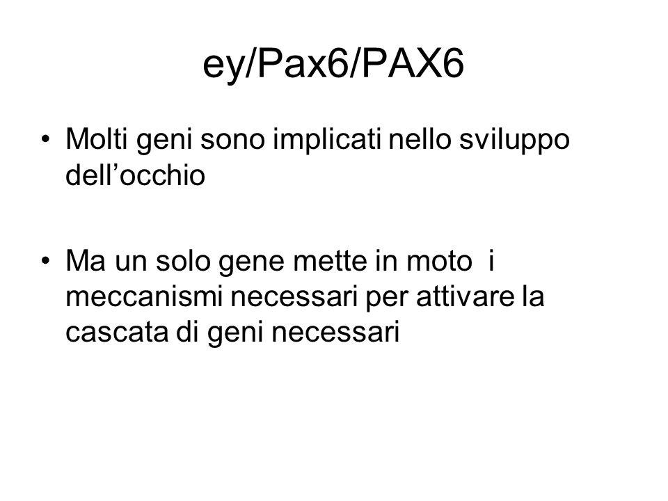 ey/Pax6/PAX6 Molti geni sono implicati nello sviluppo dell'occhio