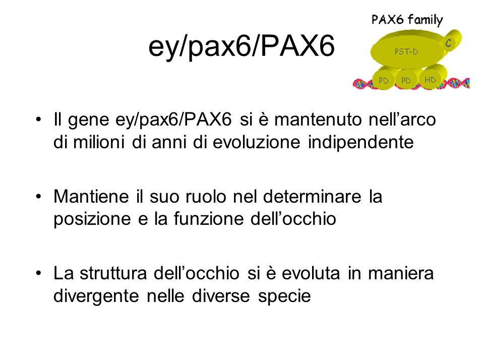 ey/pax6/PAX6 Il gene ey/pax6/PAX6 si è mantenuto nell'arco di milioni di anni di evoluzione indipendente.