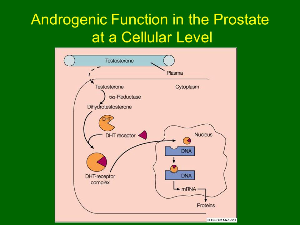 Androgenic Function in the Prostate at a Cellular Level