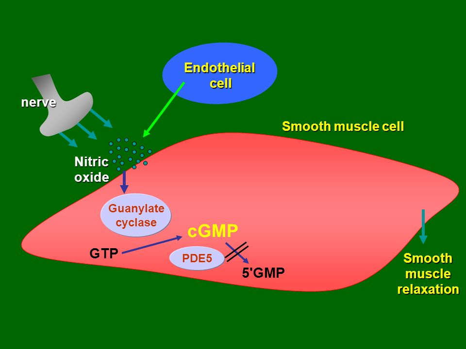cGMP GTP 5 GMP Endothelial cell nerve Smooth muscle cell Nitric oxide