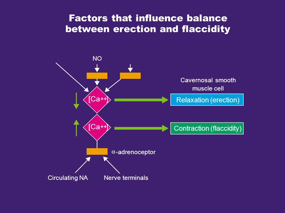Factors that influence balance between erection and flaccidity