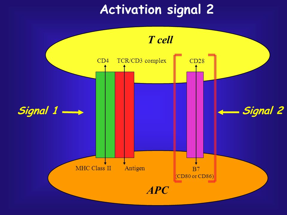 T cell APC Signal 1 Signal 2 Activation signal 2 CD28 CD4