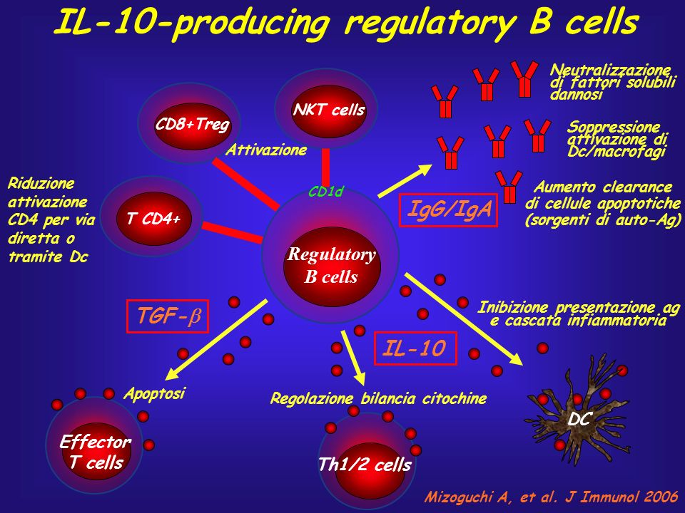 IL-10-producing regulatory B cells