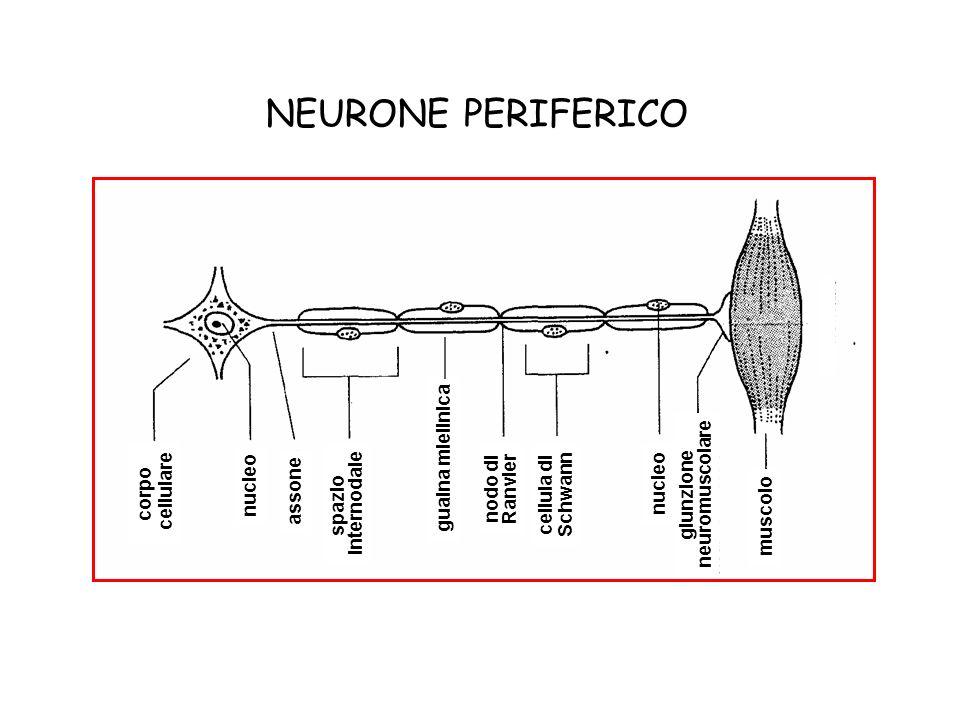 NEURONE PERIFERICO guaina mielinica cellulare corpo nucleo nodo di