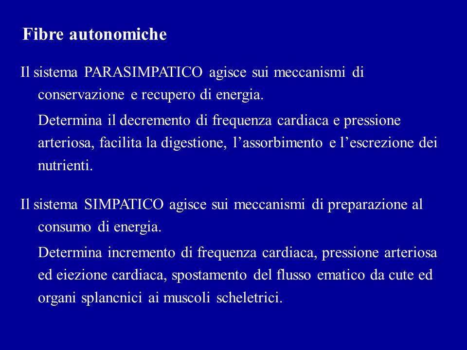 Fibre autonomiche Il sistema PARASIMPATICO agisce sui meccanismi di conservazione e recupero di energia.