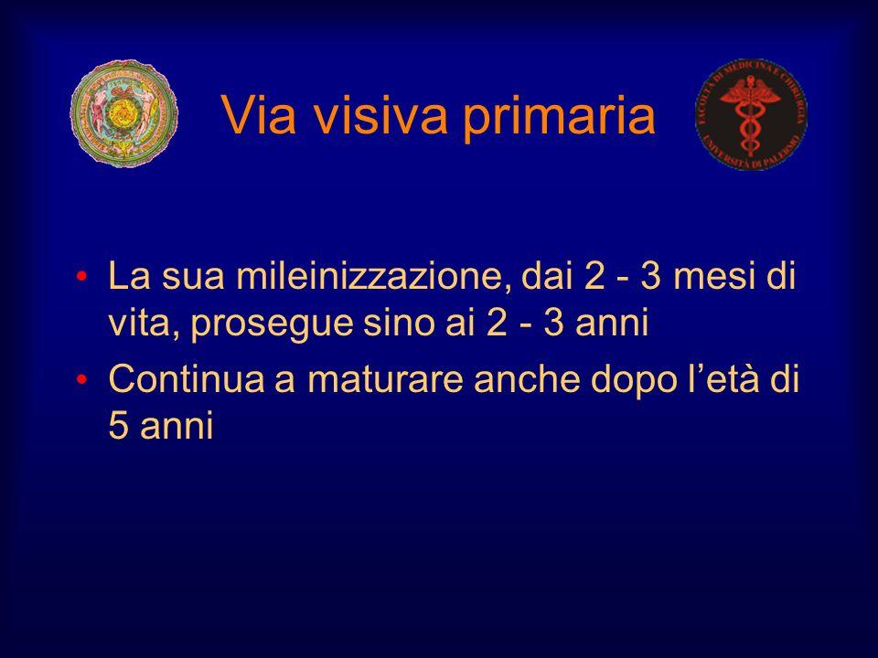 Via visiva primaria La sua mileinizzazione, dai 2 - 3 mesi di vita, prosegue sino ai 2 - 3 anni.