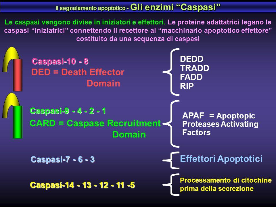 Il segnalamento apoptotico - Gli enzimi Caspasi