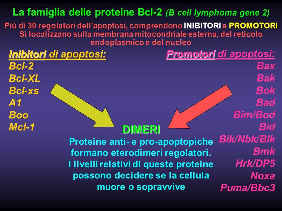 DIMERI La famiglia delle proteine Bcl-2 (B cell lymphoma gene 2)