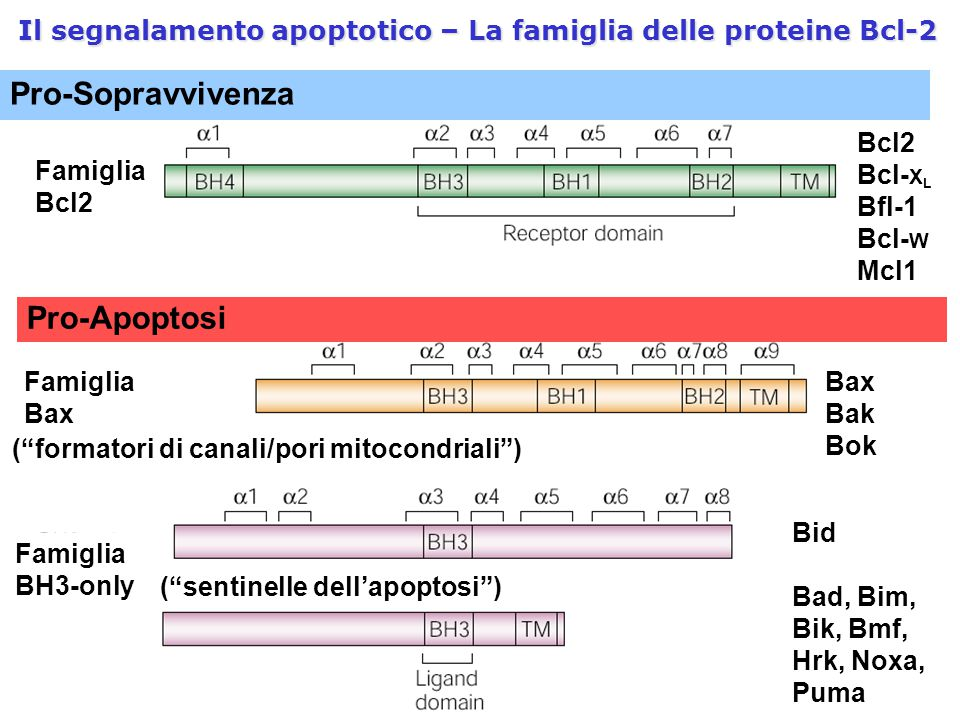 Il segnalamento apoptotico – La famiglia delle proteine Bcl-2