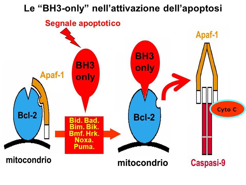 Le BH3-only nell'attivazione dell'apoptosi