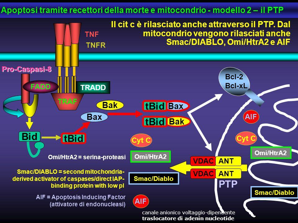 Apoptosi tramite recettori della morte e mitocondrio - modello 2 – il PTP