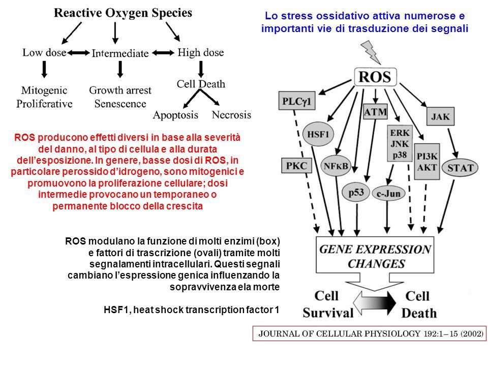 ROS modulano la funzione di molti enzimi (box) e fattori di trascrizione (ovali) tramite molti segnalamenti intracellulari. Questi segnali cambiano l'espressione genica influenzando la sopravvivenza ela morte