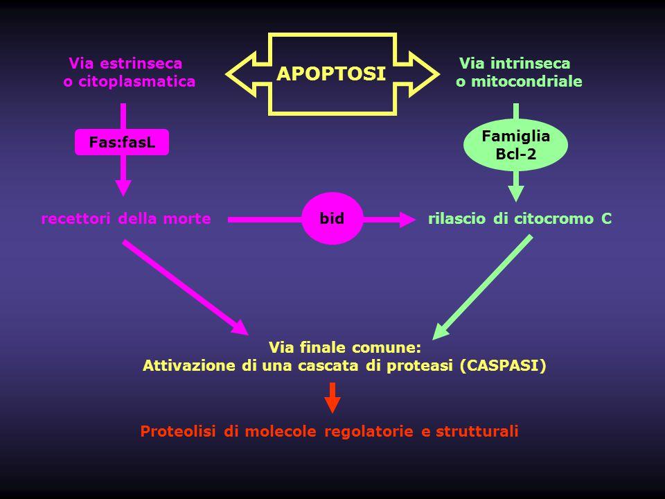 Attivazione di una cascata di proteasi (CASPASI)