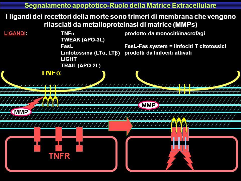 Segnalamento apoptotico-Ruolo della Matrice Extracellulare
