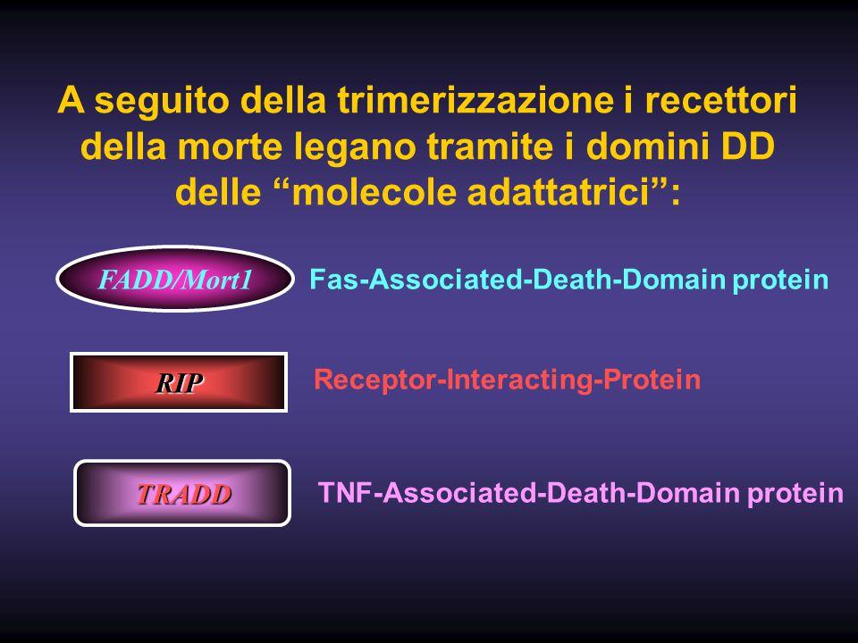 A seguito della trimerizzazione i recettori della morte legano tramite i domini DD delle molecole adattatrici :
