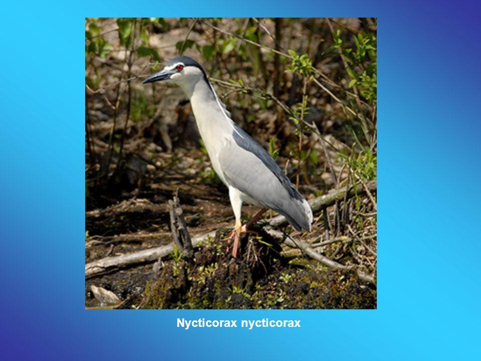 Nycticorax nycticorax