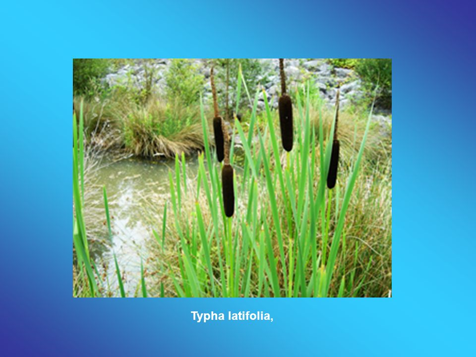 Typha latifolia,