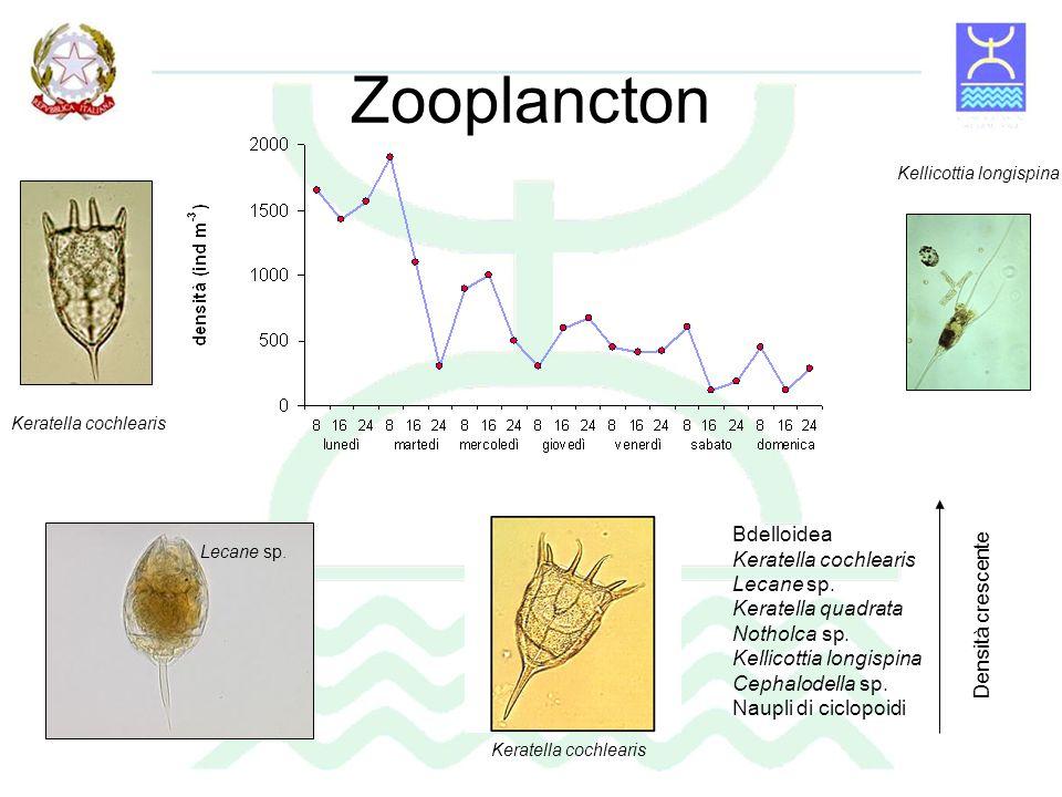 Zooplancton Bdelloidea Keratella cochlearis Lecane sp.