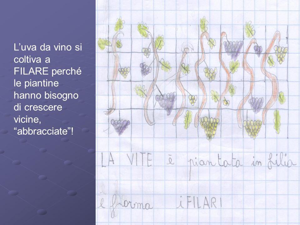 L'uva da vino si coltiva a