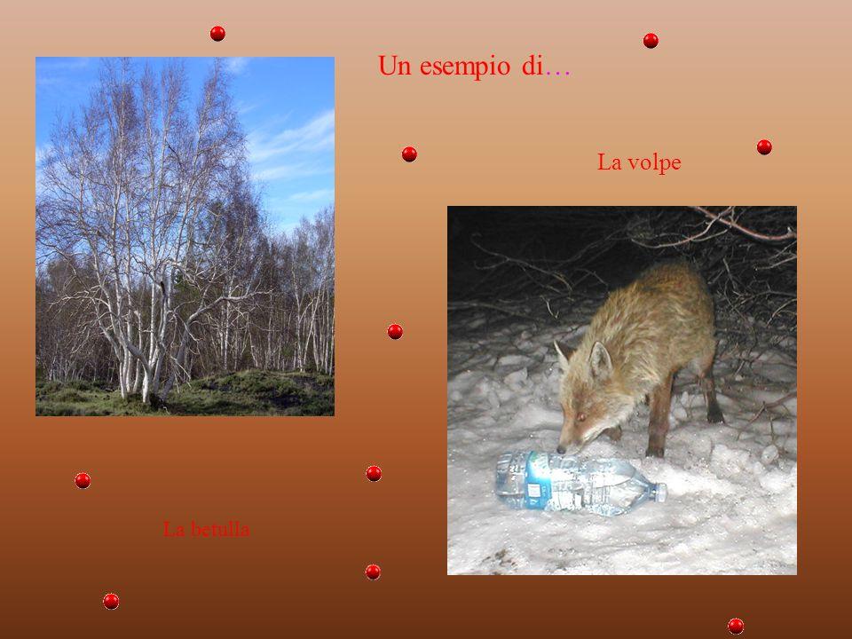 Un esempio di… La volpe La betulla