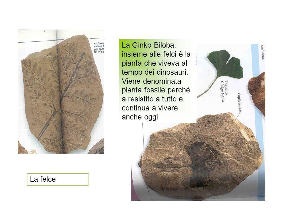 La Ginko Biloba, insieme alle felci è la pianta che viveva al tempo dei dinosauri. Viene denominata pianta fossile perché a resistito a tutto e continua a vivere anche oggi