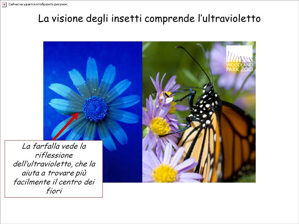 La visione degli insetti comprende l'ultravioletto