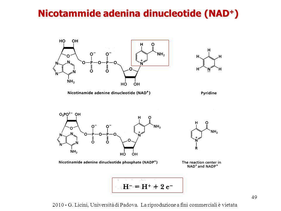 Nicotammide adenina dinucleotide (NAD+)