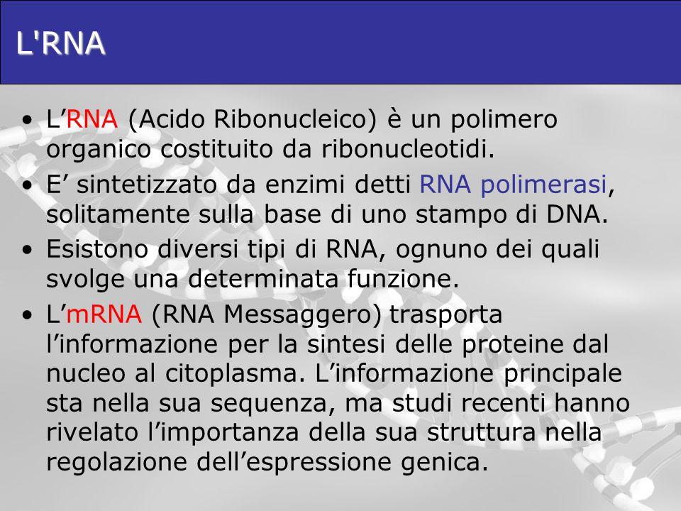 L RNA L'RNA (Acido Ribonucleico) è un polimero organico costituito da ribonucleotidi.