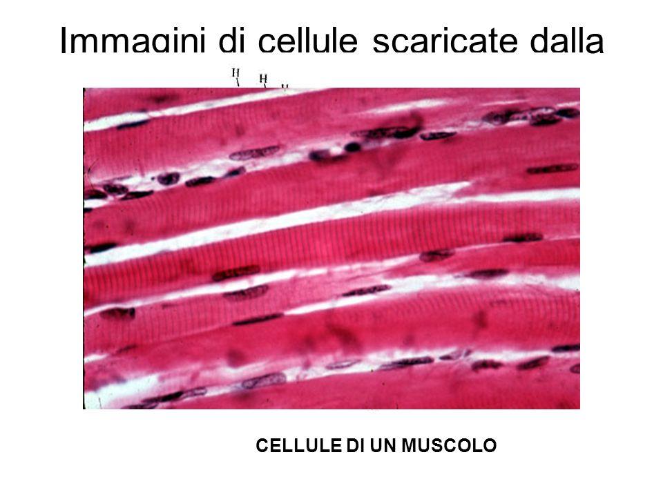 Immagini di cellule scaricate dalla rete…