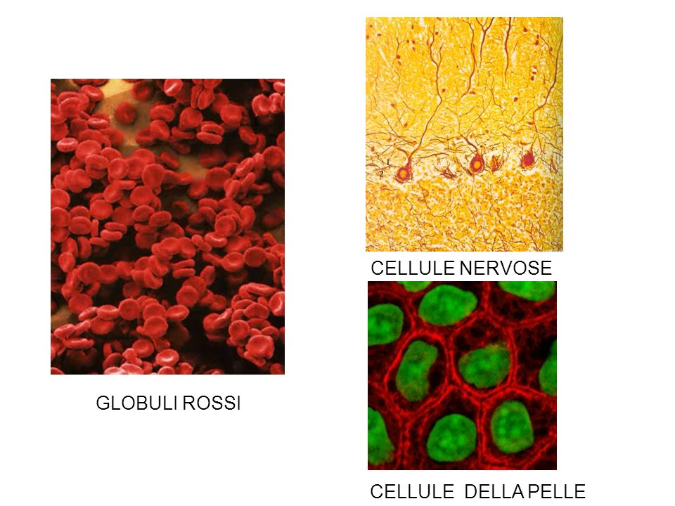 CELLULE NERVOSE GLOBULI ROSSI CELLULE DELLA PELLE
