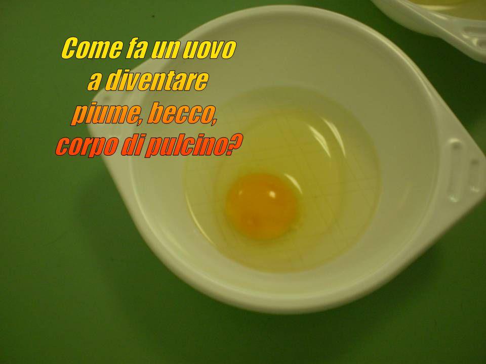 Come fa un uovo a diventare piume, becco, corpo di pulcino