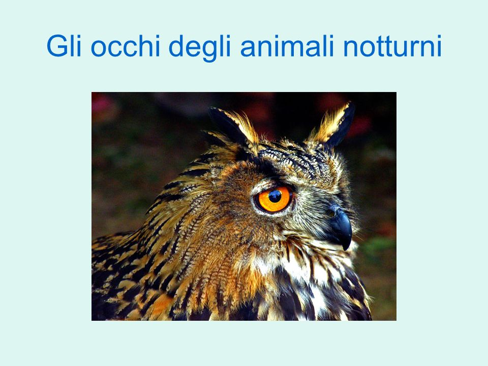 Gli occhi degli animali notturni