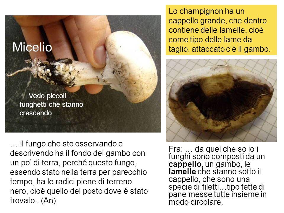 Lo champignon ha un cappello grande, che dentro contiene delle lamelle, cioè come tipo delle lame da taglio, attaccato c'è il gambo.