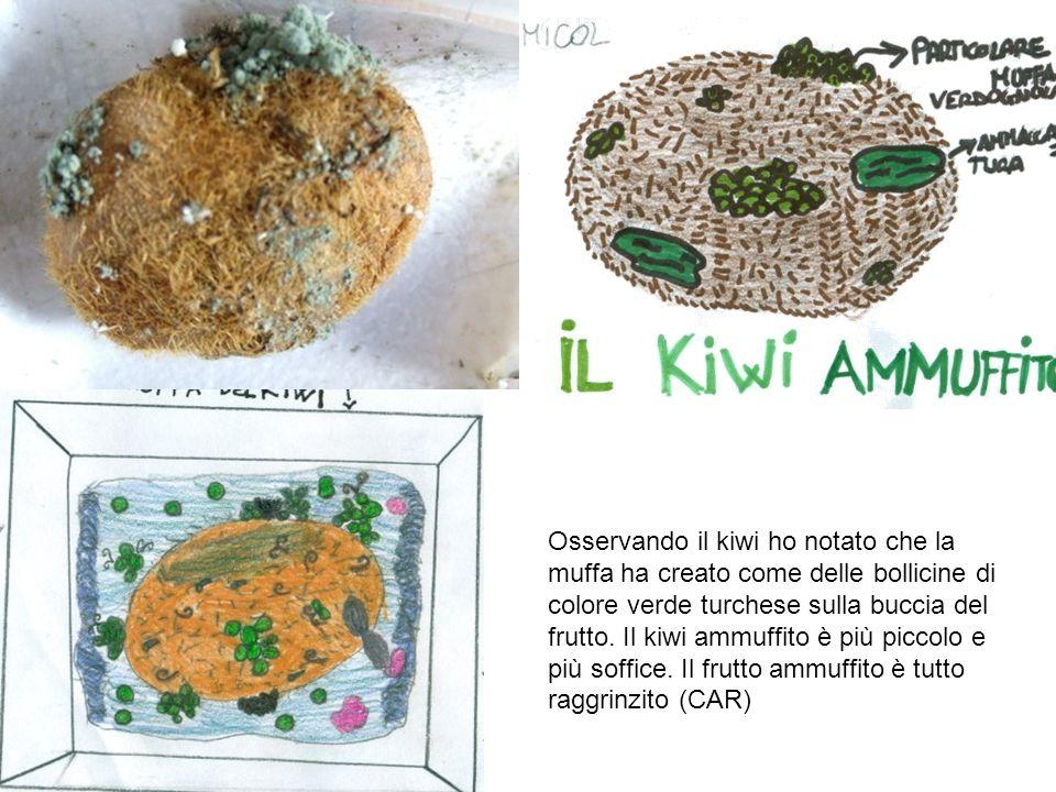 Osservando il kiwi ho notato che la muffa ha creato come delle bollicine di colore verde turchese sulla buccia del frutto.