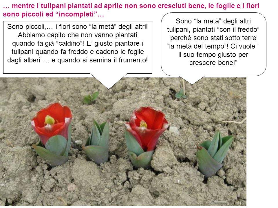 … mentre i tulipani piantati ad aprile non sono cresciuti bene, le foglie e i fiori sono piccoli ed incompleti …