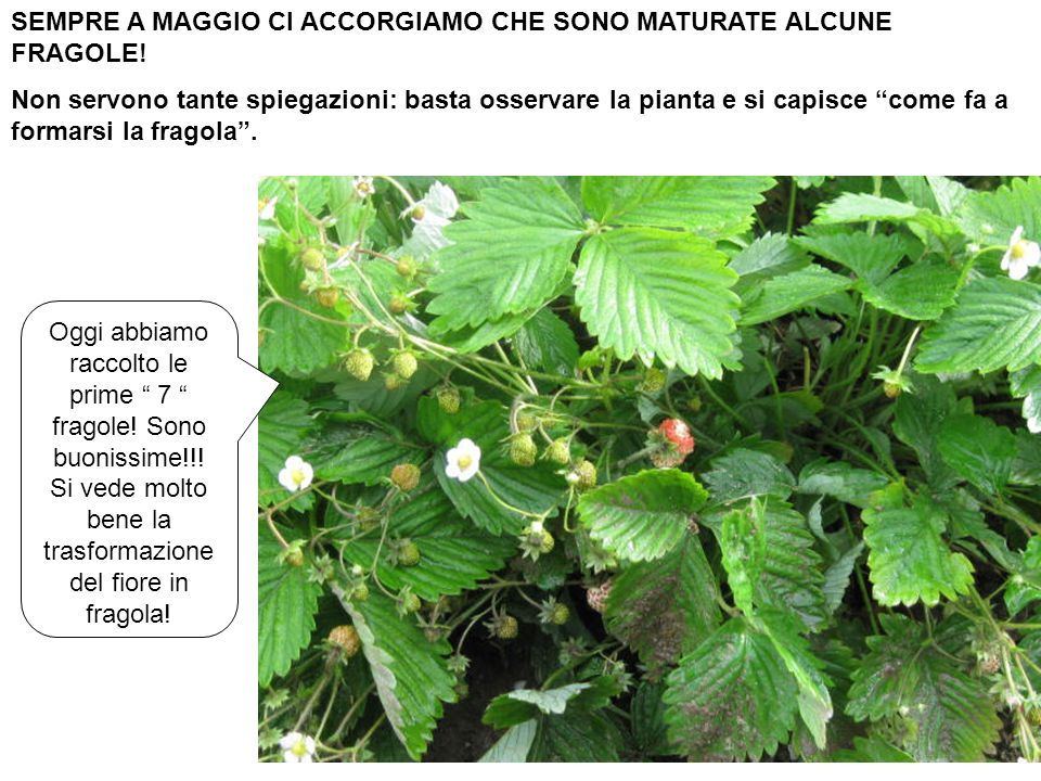 SEMPRE A MAGGIO CI ACCORGIAMO CHE SONO MATURATE ALCUNE FRAGOLE!