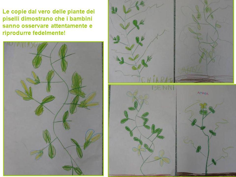 Le copie dal vero delle piante dei piselli dimostrano che i bambini sanno osservare attentamente e riprodurre fedelmente!