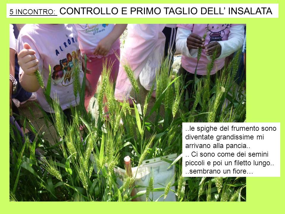 5 INCONTRO: CONTROLLO E PRIMO TAGLIO DELL' INSALATA